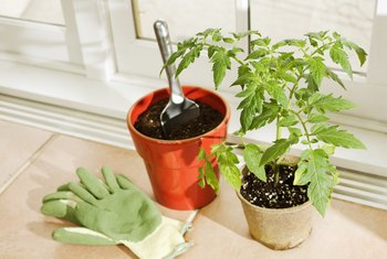 How Many Tomato Plants Per Container?
