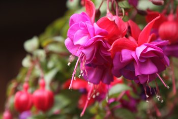 How to Care for Fuchsia Hanging Baskets