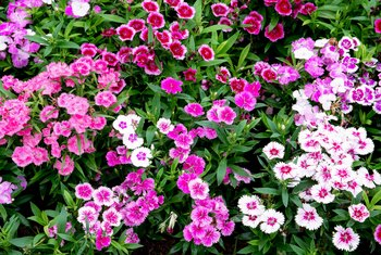 How to Remove Dead Blooms From a Dianthus
