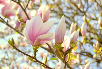 Magnolias That Bloom in Spring and Summer