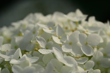 How to Grow Annabelle Hydrangea