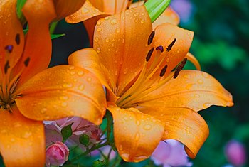 Outdoor Plants That Are Poisonous to Humans: Lilies