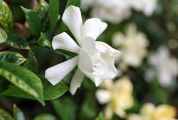 When to Fertilize Potted Gardenias