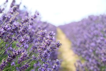 The Best Time to Plant Lavender
