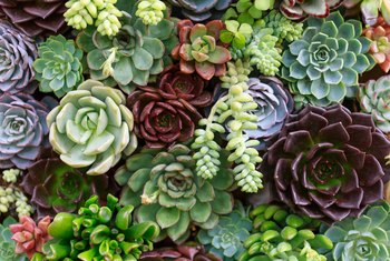 How to Repot an Arrangement of Succulents