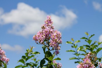 When Does a Crape Myrtle Get Buds?