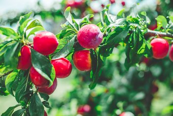 Fruit Trees That Work Well Together