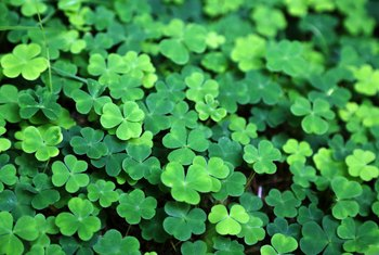 How to Care for Potted Shamrocks