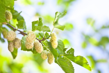 How Long Does It Take a Mulberry Tree to Grow to Maturity?