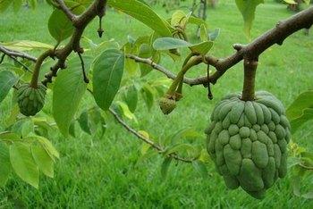 Custard Apple Tree Pics