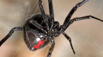 Pennsylvania Spiders That Bite