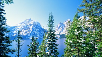 Plant Life in the Coniferous Forest