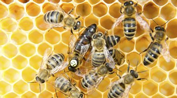 How Does a Bee Become a Queen Bee?