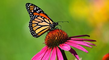 What Do You Do for a Butterfly With Crinkled Wings?