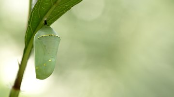 How to Identify Caterpillar Cocoons