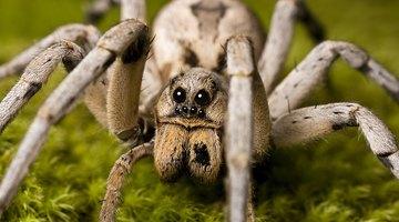 The Biggest Spiders in Virginia