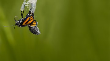 How Long Does a Butterfly Stay in a Chrysalis?