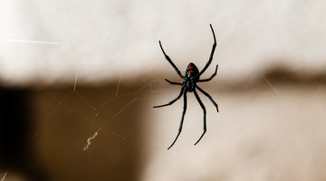 Indentification of Pacific Northwest Spiders