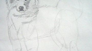 Draw the Samoyed's head.