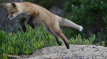 Red fox pounces. mikebaird/Flickr.com