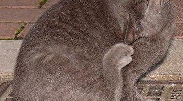 Feline dandruff causes extreme discomfort.