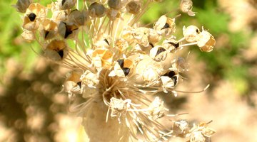 An onion flower head with seeds that will produce genetically diverse offspring