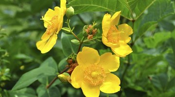 Hypericum shrubs respond to pruning with the gift of flowers.