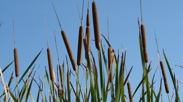 Cattails may indicate a good spot to dig.
