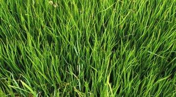 Close up of long grass.
