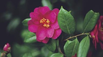 Camellia hedges provide additional interest with their large flowers.