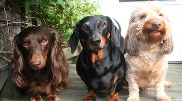 Dachshunds come in many colours and textures.