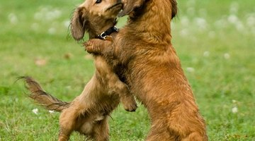 The dachshund is a playful breed.