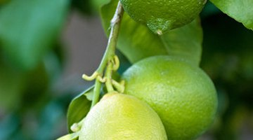Citrus trees--lemons, limes, oranges, tangerines, grapefruit, tangelos and so on--may live and produce fruit for 50 years, often even more.