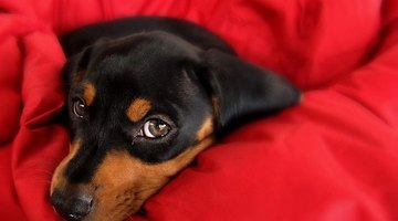 Dachshunds, like most puppies, are weaned after eight weeks.