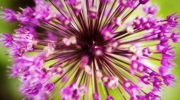 Allium bulbs repel moles.