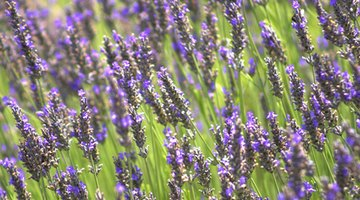 Lavender is one of the main ingredients in Nutri-Vet Pet-Ease spray and diffuser.