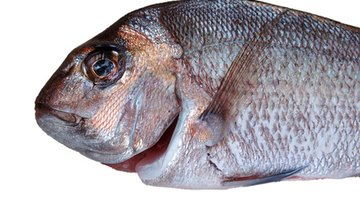 Snapper fish are a common edible, saltwater fish.