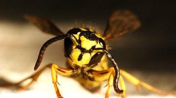 A yellow jacket wasp.