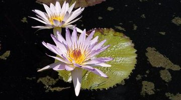 Water lilies are lovely ways to keep pond water clear.