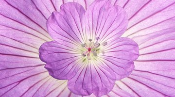 Root-cut geraniums are called