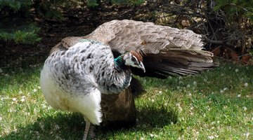 The peahen does not have the same brilliant plumage as the male.