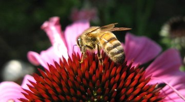 A honey bee has a structural adaptation of a black body with yellow stripes