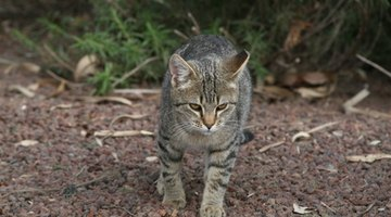 The hip structure of a cat tilts them forward to walk on four legs.