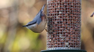 The nuthatch is able to climb up and down tree trunks head first.