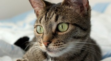 Chlorella supplements can be given to cats as well as dogs and other pets.