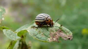Potato flea beetles chew holes in the host plant known as