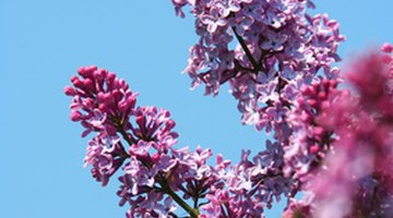 Red bud produces masses of blossoms in the spring, followed by heart-shaped leave in the summer.