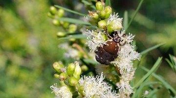 Stethorus beetles are dark-coloured beetles that feed on spider mites.
