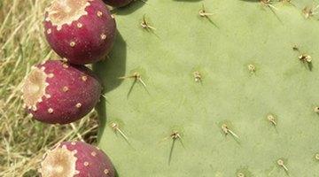 All cacti produce edible fruit.