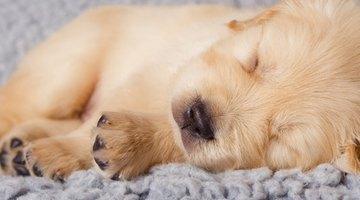 Newborn Golden Retriever puppies need a lot of sleep,